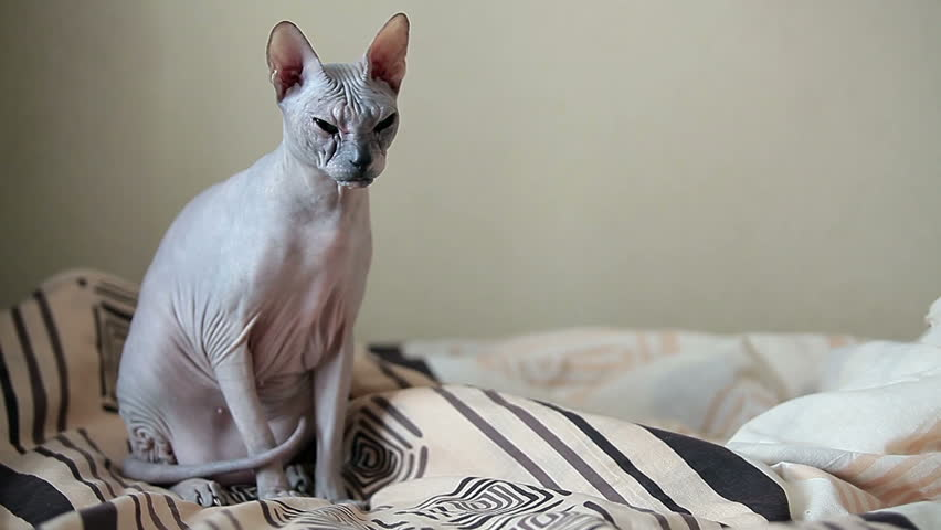 cat bedroom. Calm cat sphinx sitting on a bed in the bedroom  Copyspace HD stock footage Cat Sphinx Sitting On A Bed In The Bedroom Stock