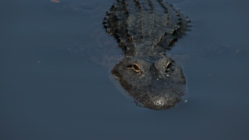 Alligator swims in swamp waters close up