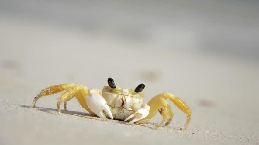 Small Crab on the Beach (Macro Video)