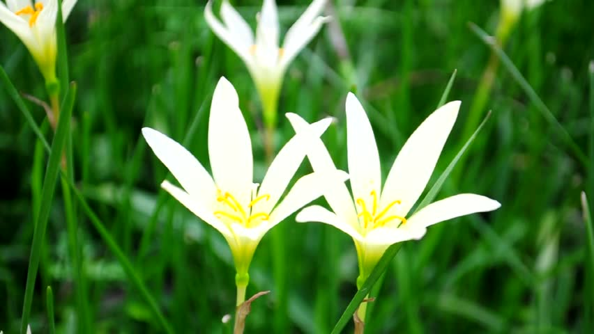 Close-up of white Rain Lily blowing movement