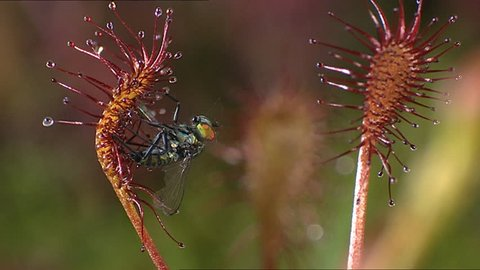 Fly caught in sticky Sundew plant