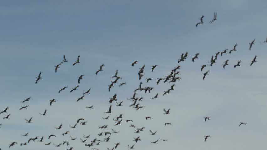 Birds, flock of sandhill cranes, fly through blue sky, create beautiful nature background. 1080p