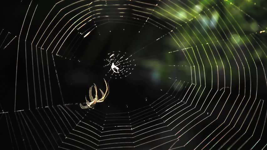 Garden Spider Building Web Close Up Time Lapse