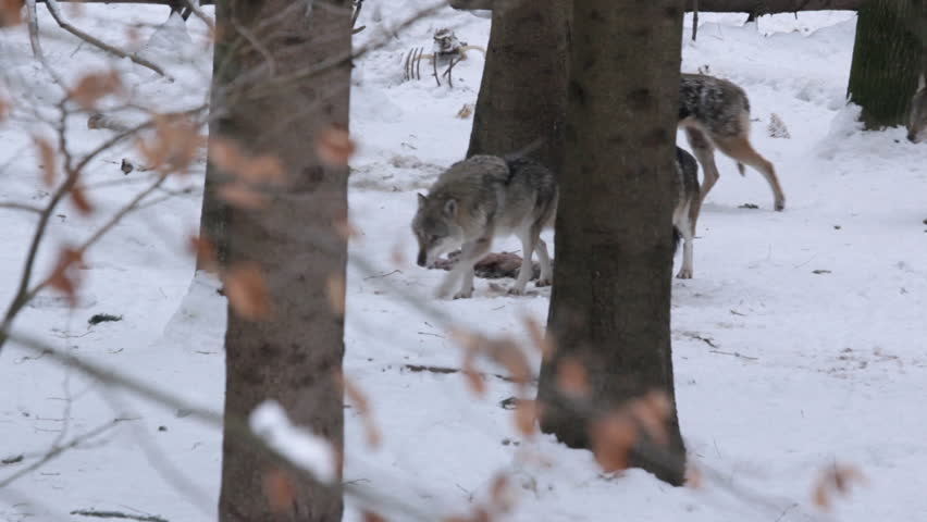 Pack of gray wolves (Canis lupus) after lunch  in a forest with snow-covered soil, in winter.