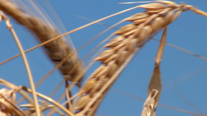Nice barley crop in the morning ...