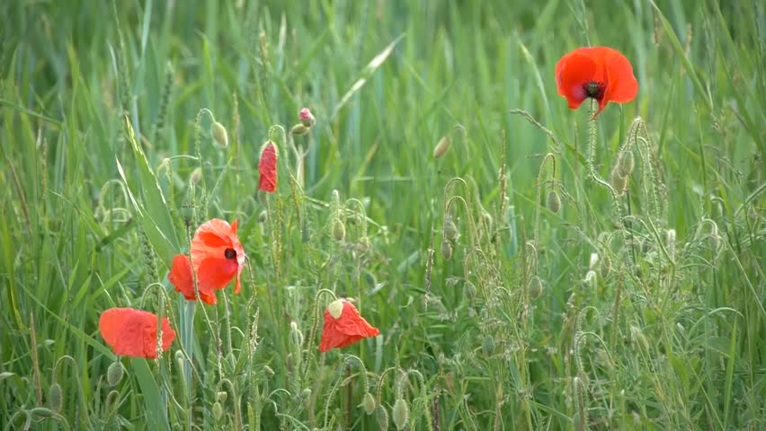 hd1080 red poppies mixed with weeds hd stock video clip - Winter Rye