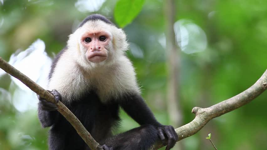 A wild White-faced Capuchin (Cebus capucinus) monkey in the rain-forest of Costa Rica.