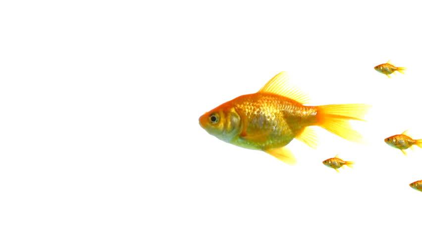 Many goldfish | Shutterstock HD Video #3667685