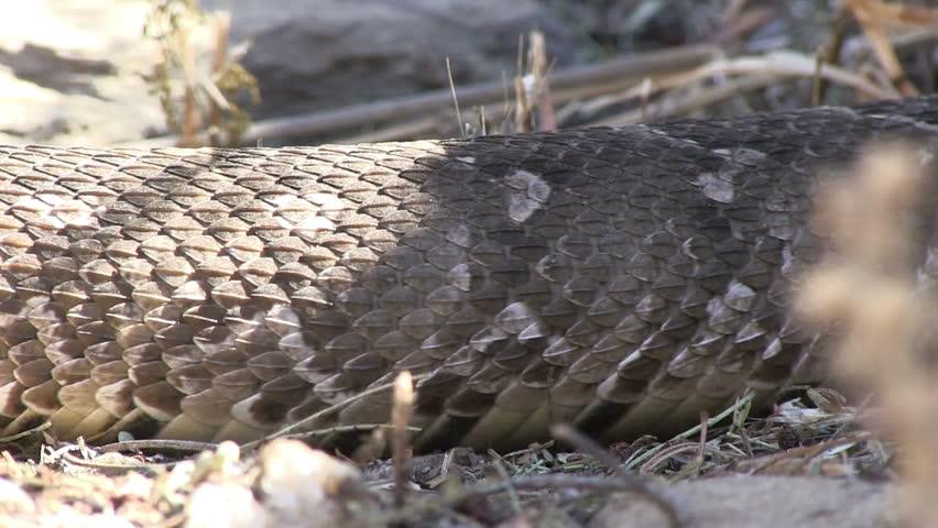 Snake skin, extreme close-up
