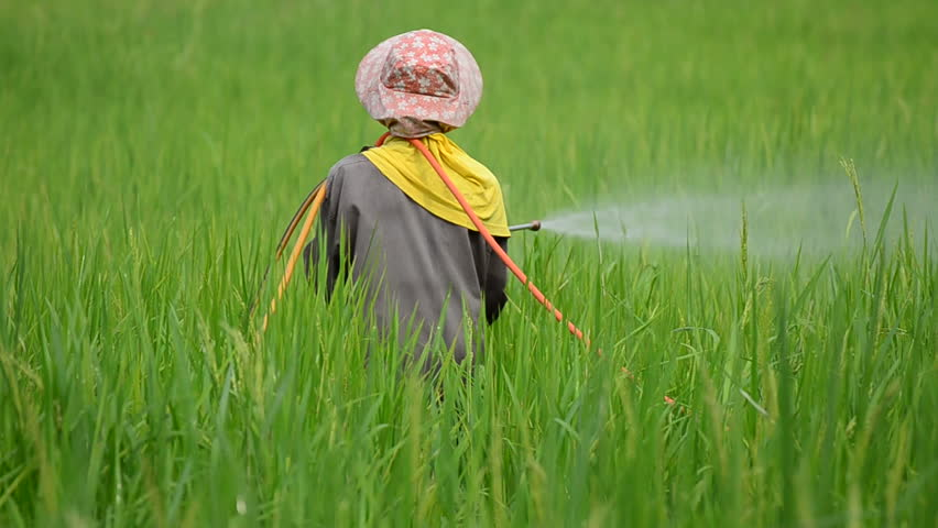 farmer spraying pesticide in rice farm