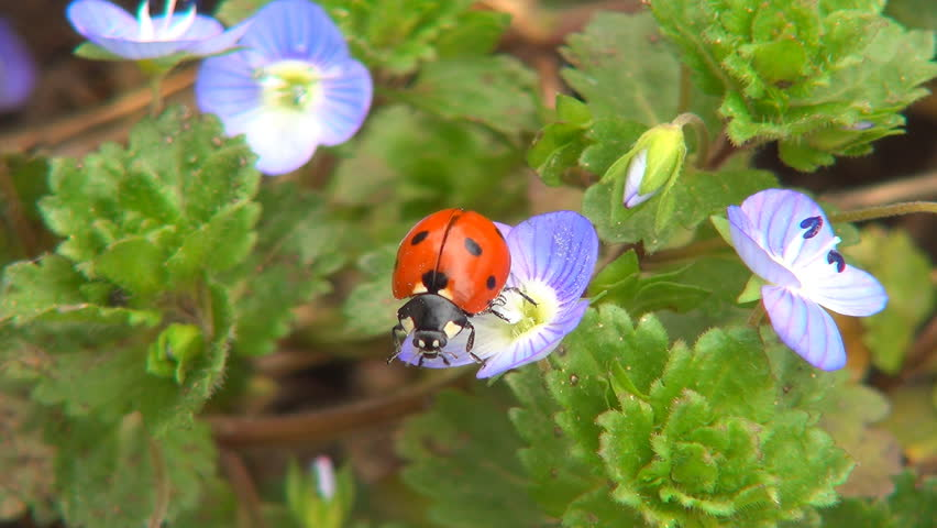 Ladybug Flying, Flight, Veronica Persica Flowers in Field, Ladybird, Bug, Macro