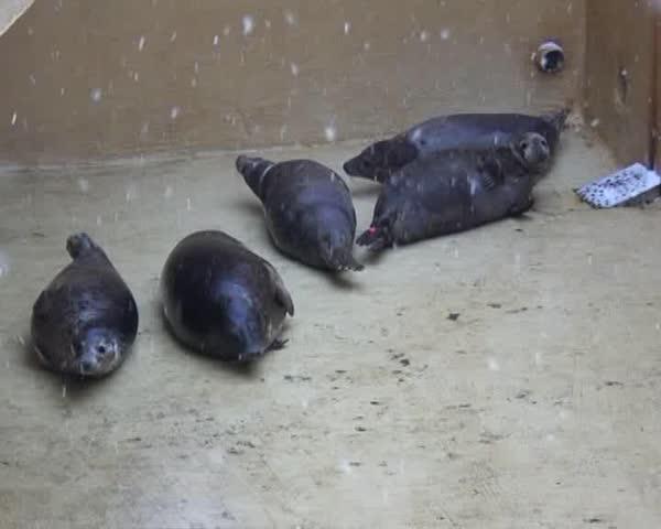 November 17, Vyborg. Fur seal's in zoo.   Shutterstock HD Video #373309