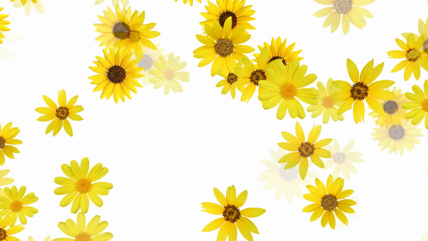 Stock Video Of Floral Background Sunflower