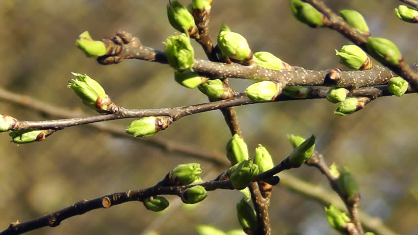 Image result for buds on the trees