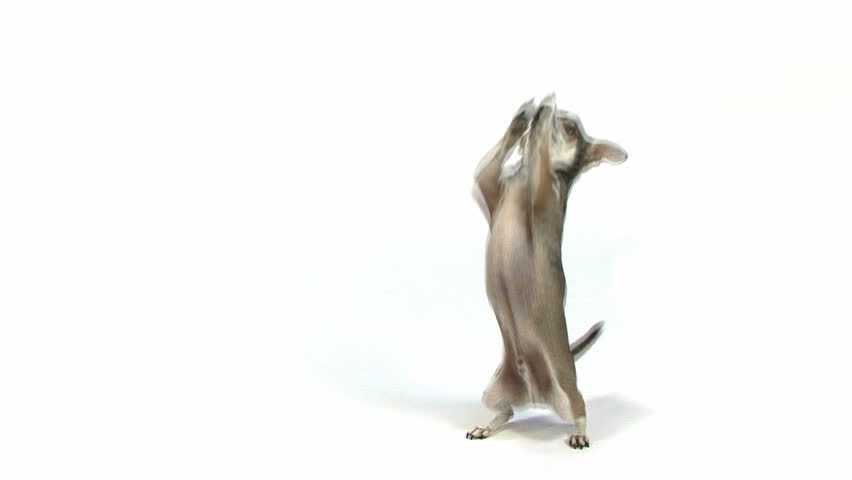 Chihuahua standing on hind legs