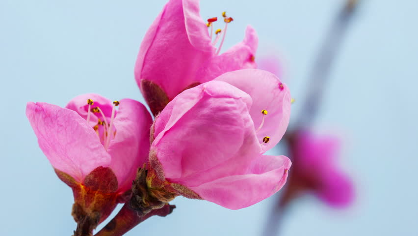 HD macro timelapse video of a pink peach tree flower growing and blossoming on a blue background/Pink peach tree flower blossoming