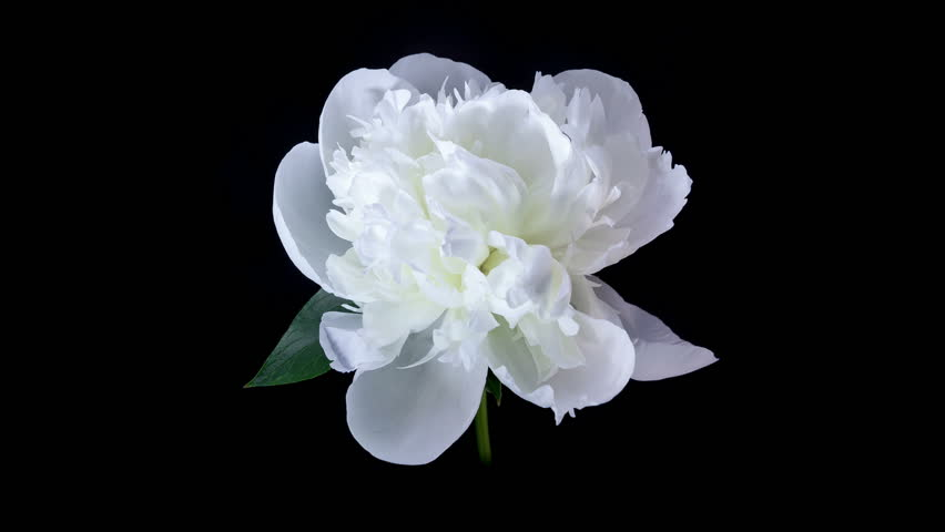 Flower free video clips 239 free downloads timelapse of white peony flower blooming on black background mightylinksfo