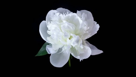 Timelapse of White Peony flower blooming on black background