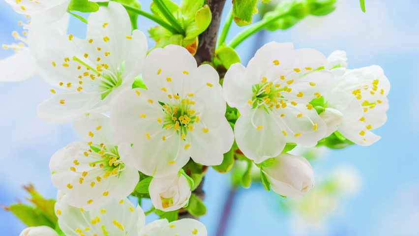 HD macro time lapse video of a cherry fruit tree flower growing and blossoming on a blue background/Cherry tree blooming macro timelapse
