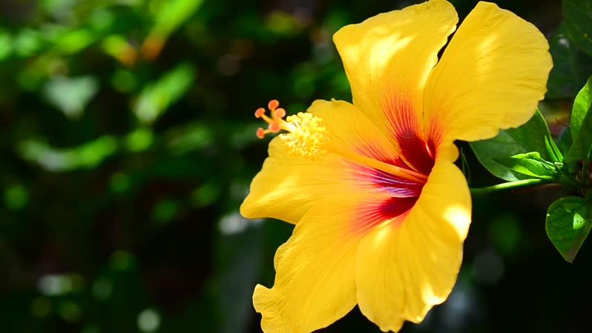 A Yellow Hibiscus In A Stock Footage Video 100 Royalty Free