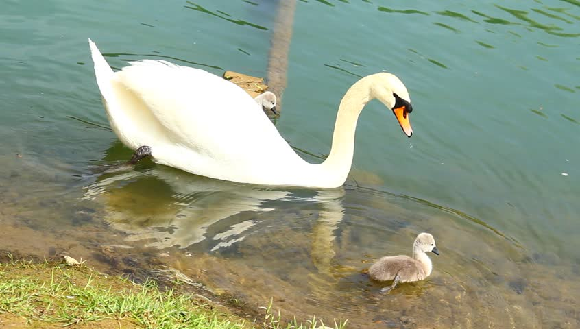 Young swan family on the coast of emerald river.
