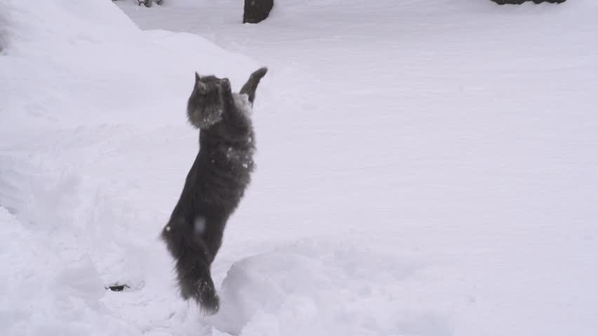 SLOW MOTION: Cat catching snowballs