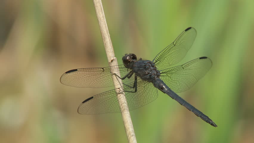A male Slaty Skimmer (Libellula incesta) dragonfly clings to a reed in a marshy area in spring.