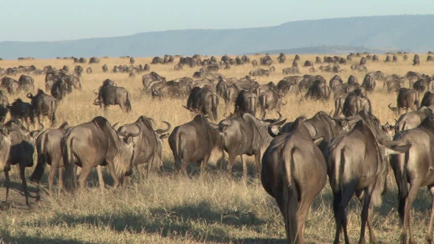 A large group of migrating wildebeests across masai mara plains 2