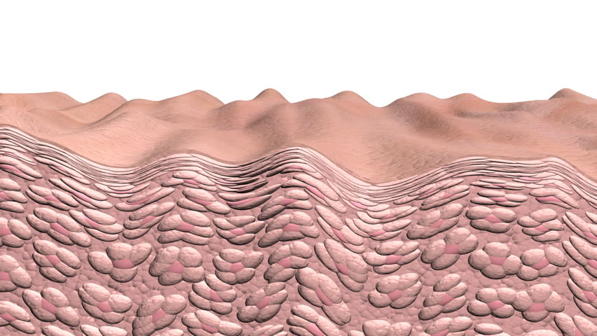 Skin wrinkling pan. Skin aging animation showing a cross section of skin and cells with aging effects or in reverse the reverse aging effects. This is an artistic simulation