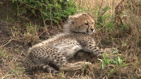 zoom of cheetah babies sitting under an anthill