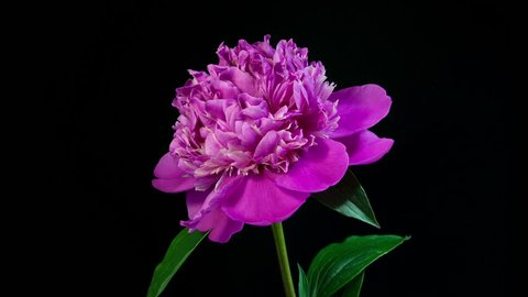 Timelapse of pink peony flower slowly blooming on black background