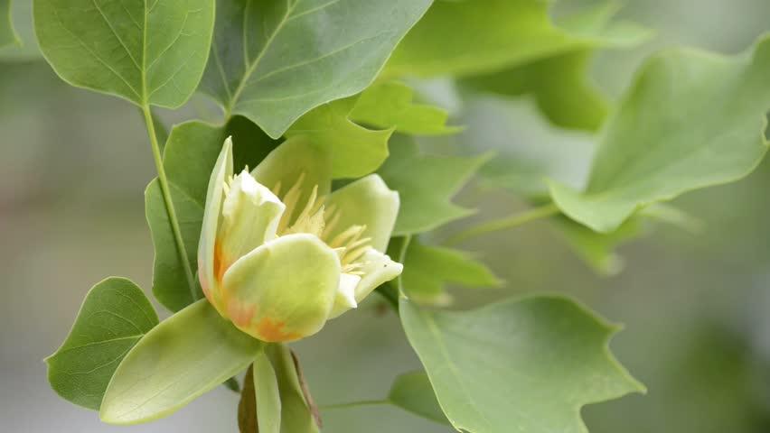 Header of tulip tree