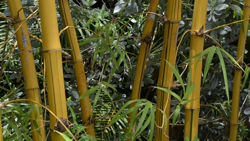 Closeup of golden bamboo blowing in the wind