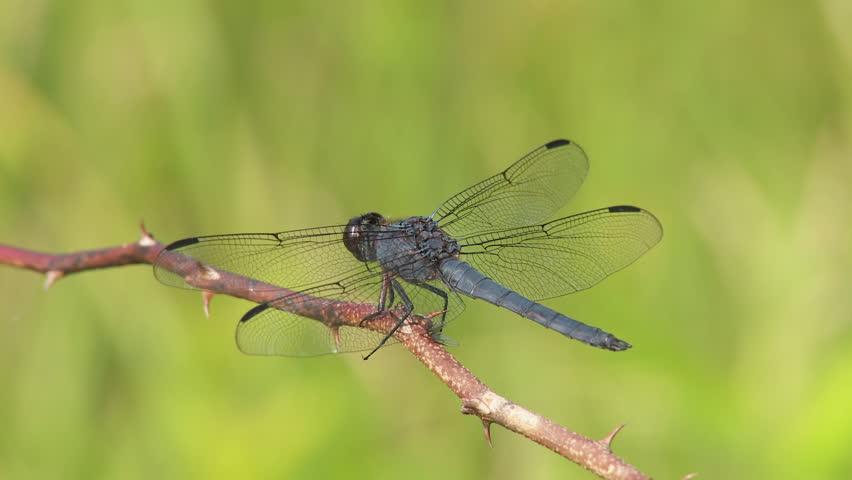 A male Slaty Skimmer (Libellula incesta) dragonfly perches on vegetation in summer.