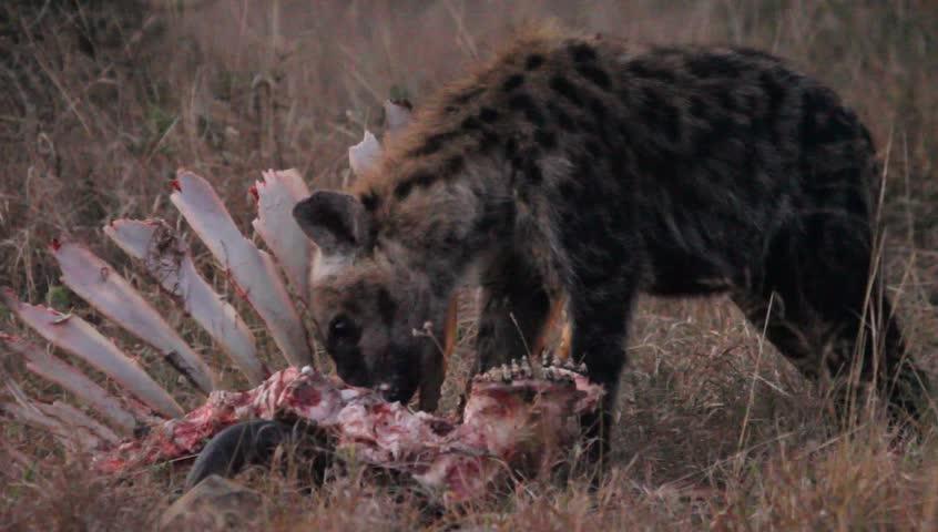 A medium shot of a hyena eating meat off a boned carcass