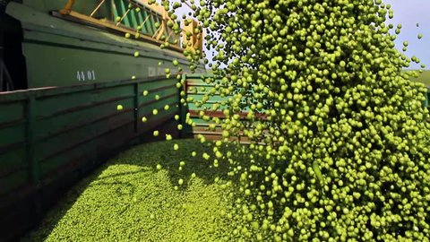 pouring peas ; tipping peas from the combine to the tractor trailer,video clip