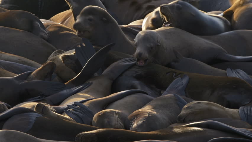 Sea lions relaxing and tussling in a heap in the sun