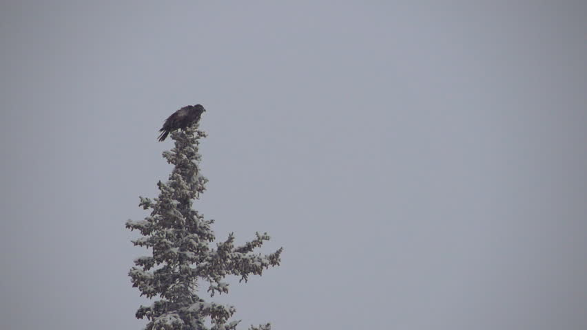 Adolescent bald eagle perched atop a snowy spruce tree takes flight during a snowstorm