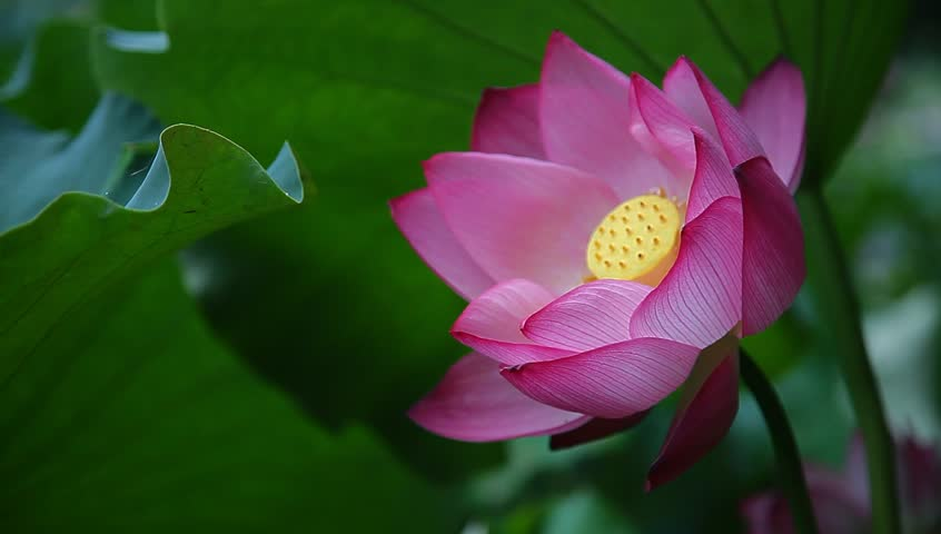 Blooming lotus flower in the stock footage video 100 royalty free blooming lotus flower in the summer in the morning mightylinksfo