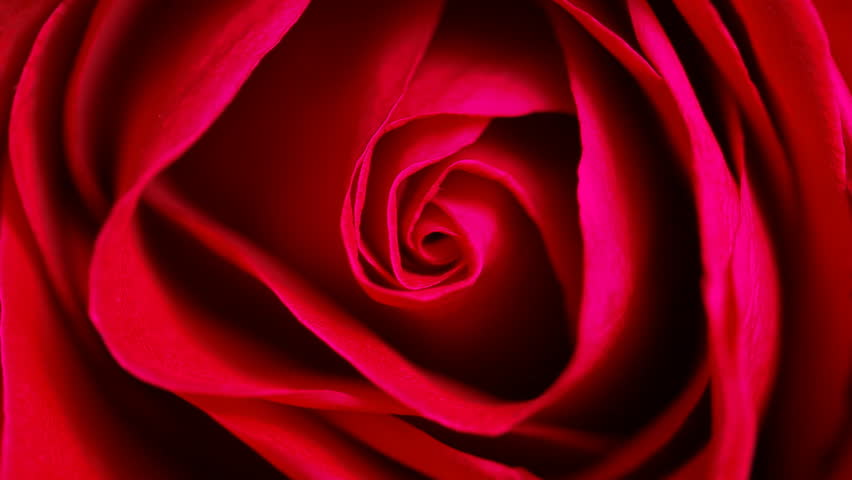 Close up of red rose can use for background Top view circle tracking motion realistic cinema, film, movie shot #4326464