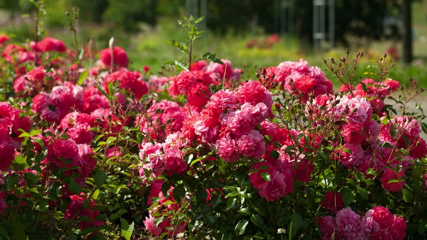 Flower Bed Of Red Flowers Roses Hd Stock Video Clip
