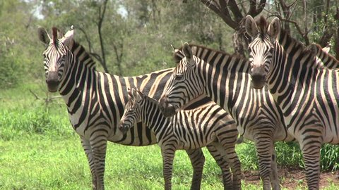 Group of Burchell's Zebra. South Africa, Kruger National Park.