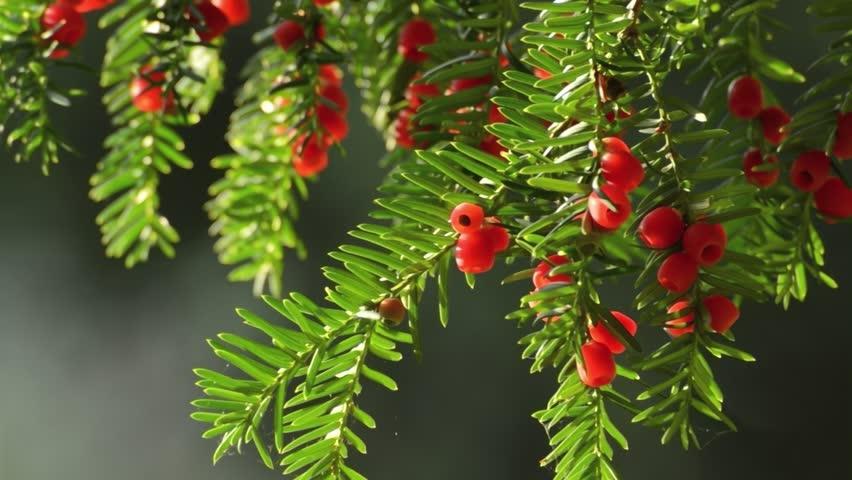 Resultado de imagem para Taxus brevifolia