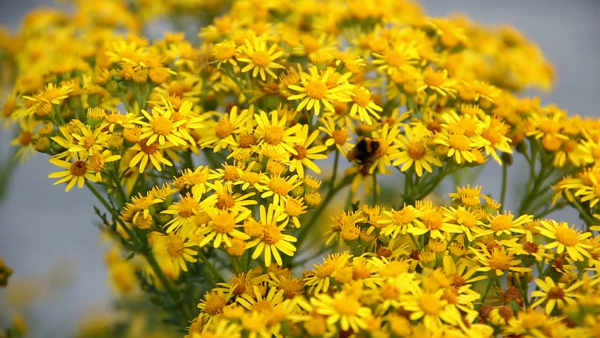 Hoverfly And Bee Collecting Nectar Stock Footage Video 100 Royalty