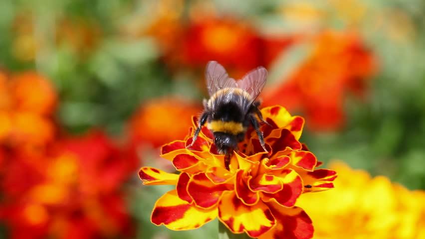 Blebee On Flower Marigold Hd Stock Footage Clip