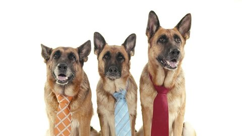 Pets, animals and behavior, three funny purebred german shepherd dogs with tie. Studio shot, white background. Part 6 of 14