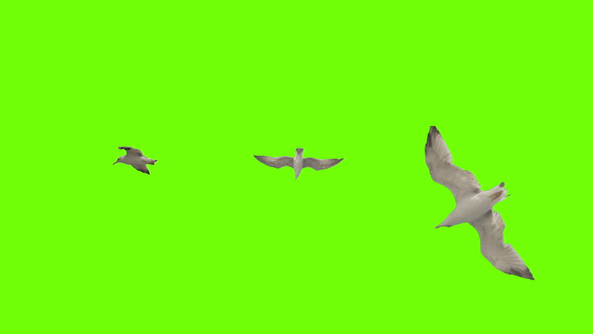 Seagull flying on green screen. Pack of three. Stabilized for animating as you want.