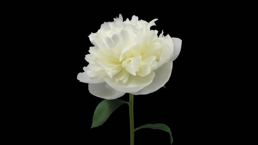 Time-lapse of dying white peony 3 isolated on black front