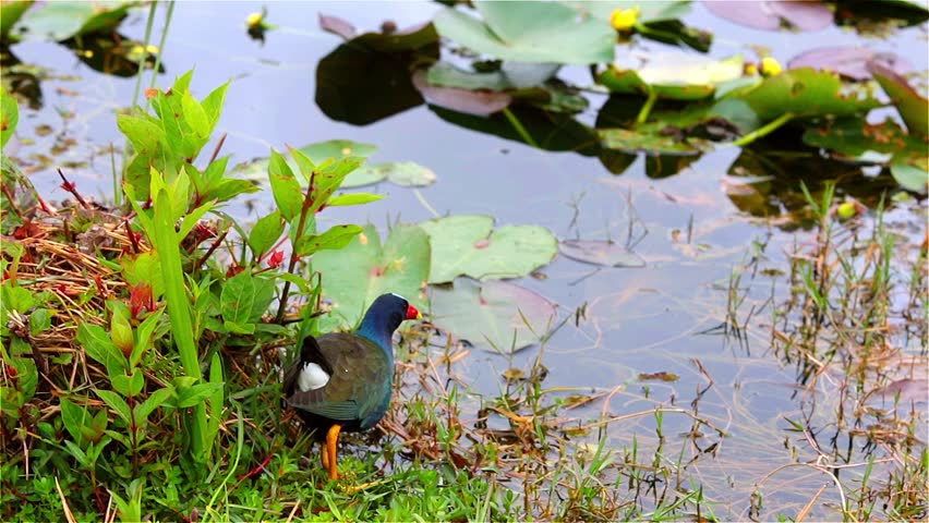 colorful purple gallinule in Everglades National Park, Florida  #4608959