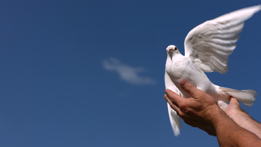 Dove is released into sky, slow motion #4617623